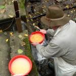Spülen der befruchteten Bachforelleneier