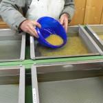 Einbringen der befruchteten Laichs in die Brutkästen