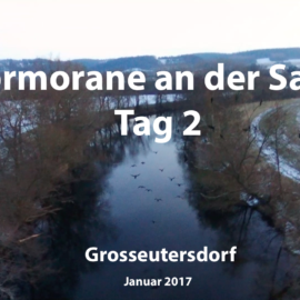 Kormorane an der Saale Tag 2 (Video)