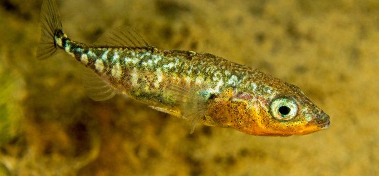 Fisch des Jahres 2018 – Dreistachliger Stichling