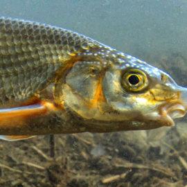 Die Nase – Fisch des Jahres 2020
